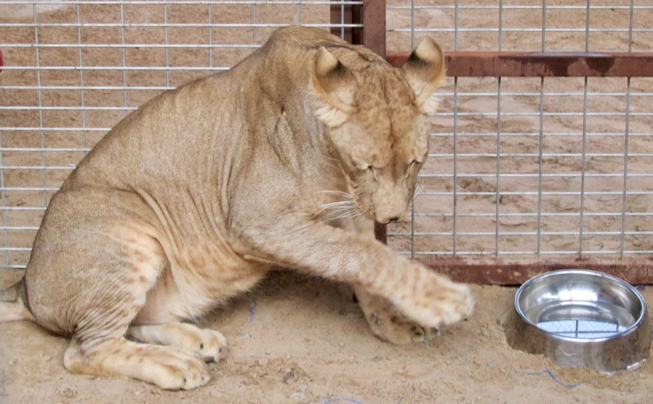 Declawed lion